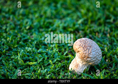 Skull puffball is a species of giant white mushroom. - Stock Photo