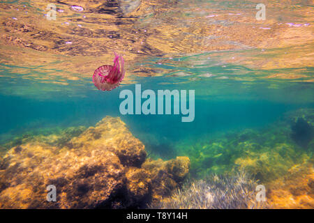 pink jellyfish swimming in the sea near the rocks and the surface, pelagia noctiluca, luminescent acalefo. copy space for text - Stock Photo