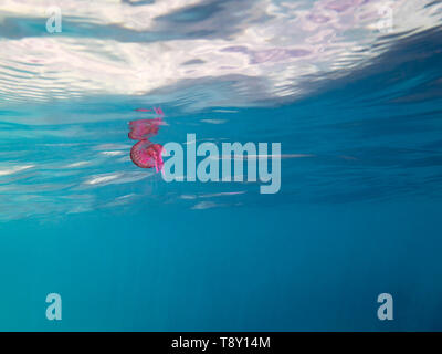 pink jellyfish swimming in the sea near the surface, pelagia noctiluca, luminescent acalefo. background with copy space for text - Stock Photo