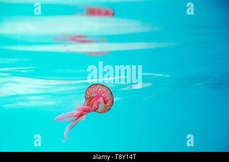 pink jellyfish swimming in a turquoise sea near the surface, pelagia noctiluca, luminescent acalefo. background with copy space for text - Stock Photo