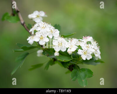 Hawthorn blossom, white flowers, against blurry, defocussed background. Aka Crataegus, quickthorn, thornapple, May-tree, whitethorn or hawberry. - Stock Photo