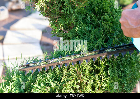 Pruning Plants Close Up. Professional Gardener Pruning conifers,lifestyle - Stock Photo
