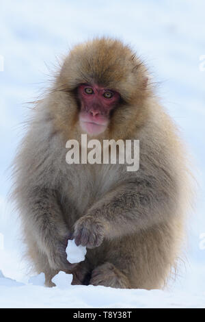 Japanese Macaque or Snow Monkey (Macaca fuscata) in the mountains of Joshinestsu Kogen National Park, Japan. - Stock Photo