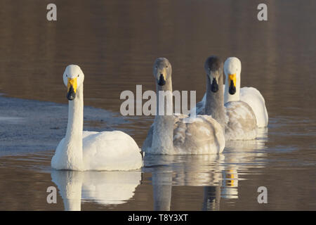 Whooper Swan (Cygnus Cygnus) Family group of adults and cygnets swimming together in Lake Kussharo, Hokkaido Island, Japapn. - Stock Photo