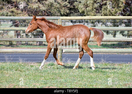 Young Arabian Horse Trotting in Field - Stock Photo