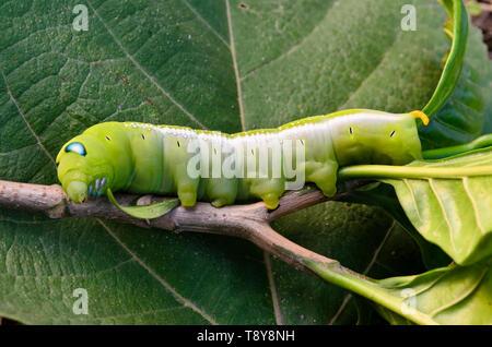 Closeup pf a blue eyed Oleander Hawk-moth caterpillar on a branch - Stock Photo