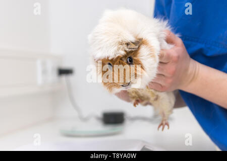 Cute Guinea pig in the veterinary practice is examined by the veterinarian - Stock Photo