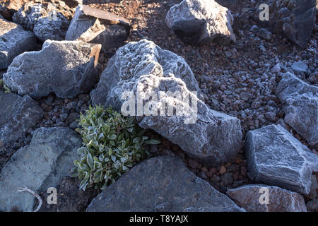 Lava stones covered by thin layer of an ice, together with a plants with ice on the silhouette of the leaves. Cold spring morning in Teide National Pa - Stock Photo