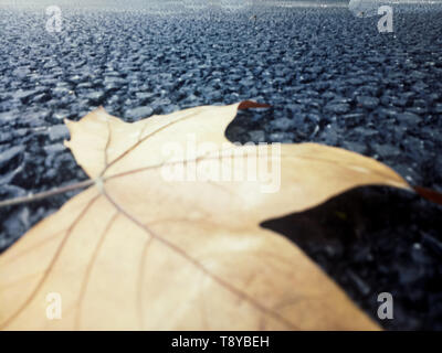 dried maple leaf fallen on nature dark black background in autumn - Stock Photo