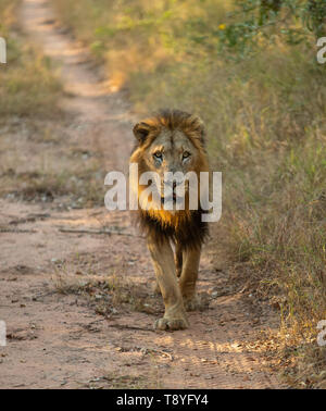 Male Lion in the Sabi Sands, South Africa - Stock Photo
