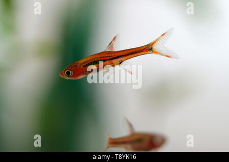 Boraras Brigitta aquarium mini fish from Borneo, Indonesia, close up - Stock Photo