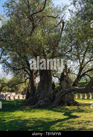 Stara Maslina is one of the world's oldest olive trees, located near Stari Bar in Montenegro. The tree is said to be over 2,000 years old. It is a pop - Stock Photo