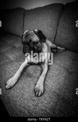 Pretty Cute Pug Puppy Dog breed sitting on sofa Black and White Photography - Stock Photo