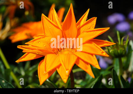 Flower of Gazania rigens with water drops on petals. Close-up. - Stock Photo