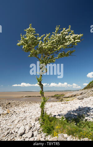 A single, flowering hawthorn tree, Crataegus monogyna, on a sunny day in May growing at Jenny Brown's Point near the village of Silverdale on the edge - Stock Photo