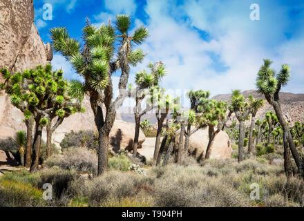 Joshua Trees punctuate the landscape in Joshua Tree National Park, California.