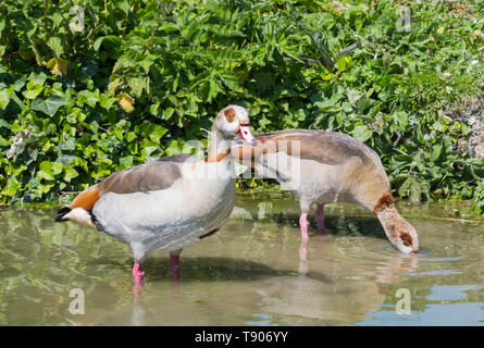 Pair of Egyptian geese (Alopochen aegyptiaca) standing in shallow water while drinking in Spring in West Sussex, England, UK. Egyptian goose. - Stock Photo