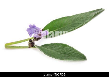 Sage  with flowers isolated on white background - Stock Photo
