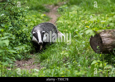 European badger (Meles meles) foraging along animal trail / wildlife track in grassland at forest edge - Stock Photo