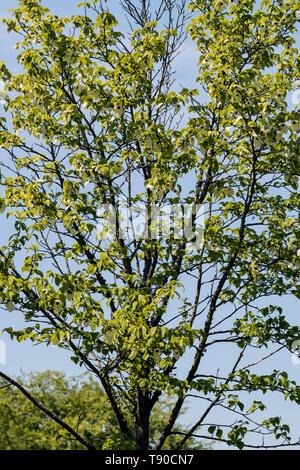 Davidia involucrata, handkerchief tree in flower against a blue sky background - Stock Photo