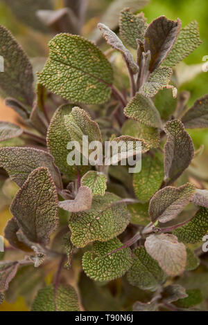 Sage growing in a London residential urban herb garden, England, United Kingdom - Stock Photo