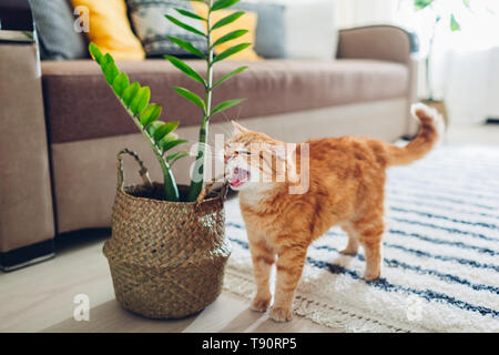 Ginger cat lying on empty bed at home in the morning. Pet enjoying sun. Kitten sleeping - Stock Photo