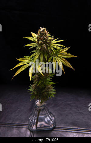 Detail of cannabis flower (Sour diesel marijuana strain) on a vase isolated over black background - Stock Photo