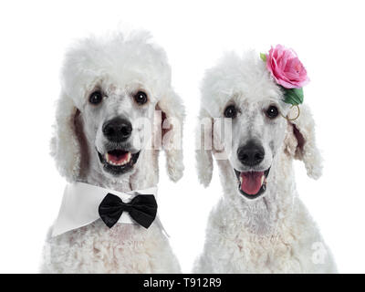 Head shot of cute adult white King Poodle, sitting up looking towards camera. Isolated on white background. One wearing a black with white tuxedo coll - Stock Photo