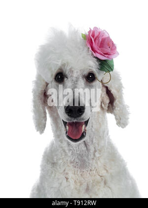 Head shot of cute adult white King Poodle, sitting up looking towards camera. Isolated on white background. Wearing pink rose. - Stock Photo
