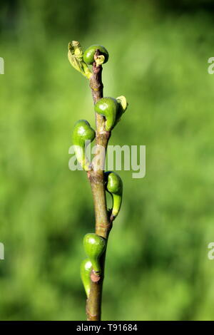 Fig tree or Ficus carica or Common fig branch full of small fresh figs starting to mature and mixed with light green leaves on single branch - Stock Photo