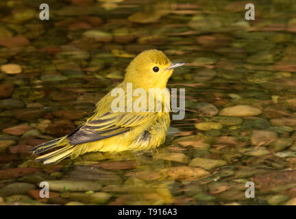 Yellow Warbler, Setophaga petechia, male, bathes in a backyard pond in Saskatoon, Saskatchewan - Stock Photo