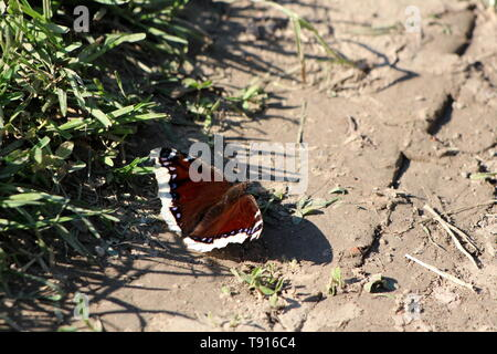 Mourning cloak or Nymphalis antiopa or Camberwell beauty large unique butterfly with dark brown wings and pale yellow edges - Stock Photo