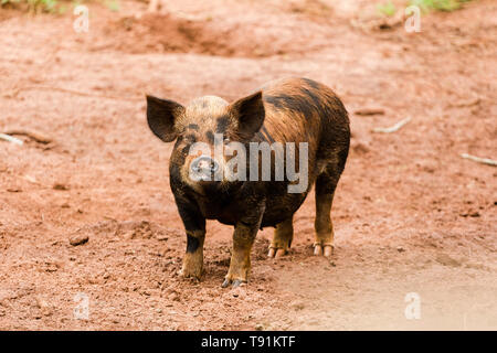 May 12, 2019 - GlÌ?Ria De Dourados, Mato Grosso do Sul, Brazil - A caipira pig seen on a farm in Brazil.Livestock farming has a great relevance in Brazilian exports, in addition to supplying the domestic market. It is an economic activity developed in rural areas.Agriculture in Brazil is one of the main bases of the country's economy. Agriculture is an activity that is part of the primary sector where the land is cultivated and harvested for subsistence, export or trade. Credit: Rafael Henrique/SOPA Images/ZUMA Wire/Alamy Live News - Stock Photo