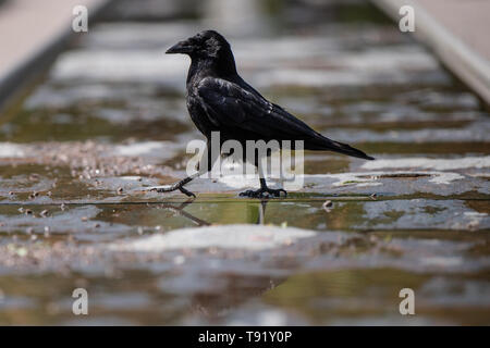 Karlsruhe, Germany. 16th May, 2019. In sunny weather, a crow walks through a dried out well basin at the Schlossplatz. Credit: Fabian Sommer/dpa/Alamy Live News - Stock Photo