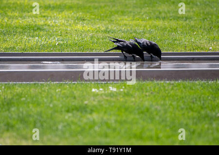 Karlsruhe, Germany. 16th May, 2019. In sunny weather two crows drink from a fountain basin at the Schlossplatz. Credit: Fabian Sommer/dpa/Alamy Live News - Stock Photo