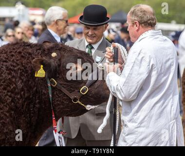 Exeter, Devon, UK. 16th May 2019 Judges take a look at the local Ruby Red Devon cattle in the showring on the first day of the Devon County Show, at the Westpoint Showground, Exeter Credit: Photo Central/Alamy Live News - Stock Photo