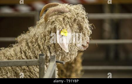 Exeter, Devon, UK. 16th May 2019 An Angora goat looks out of his pen at the Devon County Show, Westpoint Showground, Exeter Credit: Photo Central/Alamy Live News - Stock Photo