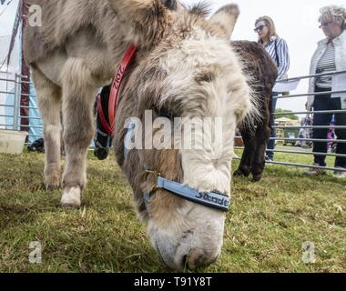 Exeter, Devon, UK. 16th May 2019 Donkeys from the Sidmouth Donkey Santuary on show on the first day of the Devon County Show, at the Westpoint Showground, Exeter Credit: Photo Central/Alamy Live News - Stock Photo