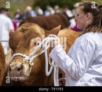 Exeter, Devon, UK. 16th May 2019 Cattleout in the show ring on the first day of the Devon County Show, at the Westpoint Showground, Exeter Credit: Photo Central/Alamy Live News - Stock Photo