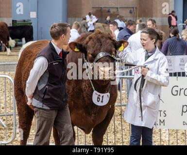 Exeter, Devon, UK. 16th May 2019 Ruby Red Devon cattle in the showring on the first day of the Devon County Show, at the Westpoint Showground, Exeter Credit: Photo Central/Alamy Live News - Stock Photo