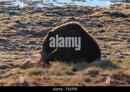 Grizzly Bear feeding on elk fawn carcass in Yellowstone National Park in Wyoming United States - Stock Photo