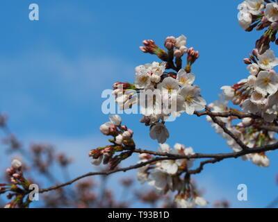 Cherry blossom  Sakura Tokio Japan April 2019 - Stock Photo