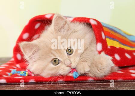 German Longhair Kitten - Stock Photo
