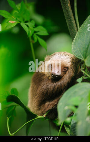 Hoffmann´s two toed baby sloth (Choloepus hoffmanni) sleeping in rainforest / Camino de Cruces National Park, Panama. - Stock Photo