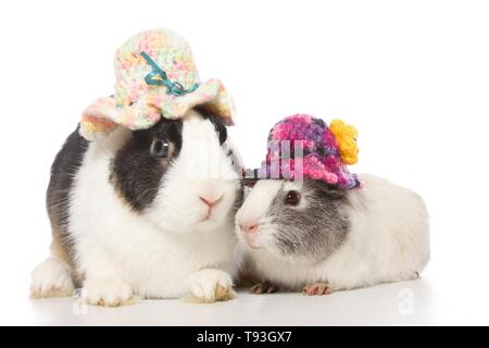 Netherland Dwarf and Smooth-haired Guinea Pig - Stock Photo