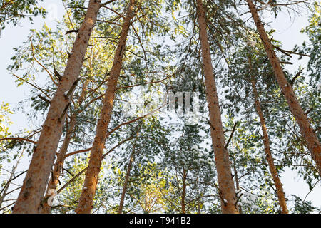 Look up pine forest with sunshine. Fresh air and beautiful nature in the wild forest. Wonderful place for relax and weekend. Winter fairytale