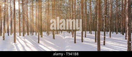 Panorama of winter forest with sunshine. Wonderful landscape with pines in sunny weather. Winter fairytale - Stock Photo