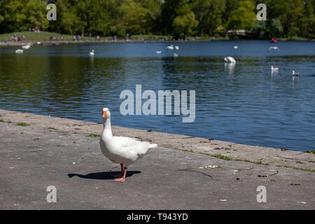 Stanley Park, Blackpool, Lancashire. 12th May 2019. Goose by the lake at Stanley Park, Blackpool. Credit: Craig Searle - Stock Photo