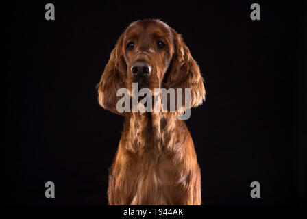 Setter Dog Isolated on Black Background in studio , Portrait of beautiful dog on Black Background in studio - Stock Photo