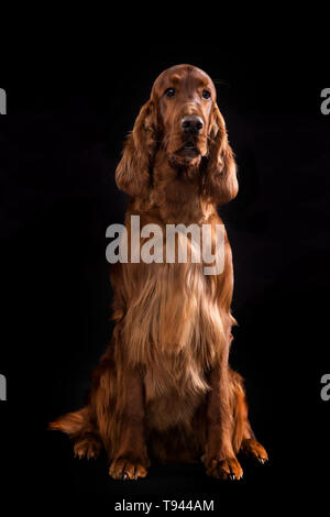 Setter Dog Isolated on Black Background in studio , Portrait of beautiful dog on Black Background in studio - Stock Photo